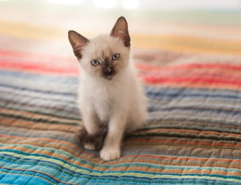 Quelles sont les principales caractéristiques du chat siamois ?