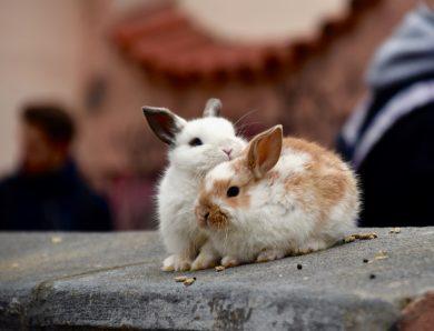 Que mangent les lapins domestiques ?